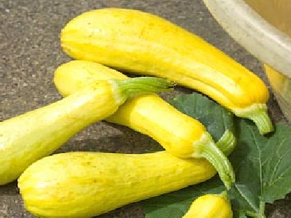 Early Polific Yellow Squash